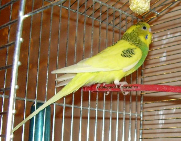 Ветеринарный форум - Волнистый попугай.  Клещ.  - Лечение птиц.